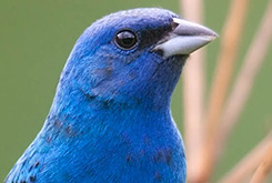 An Indigo Bunting - click to see more in the photo gallery