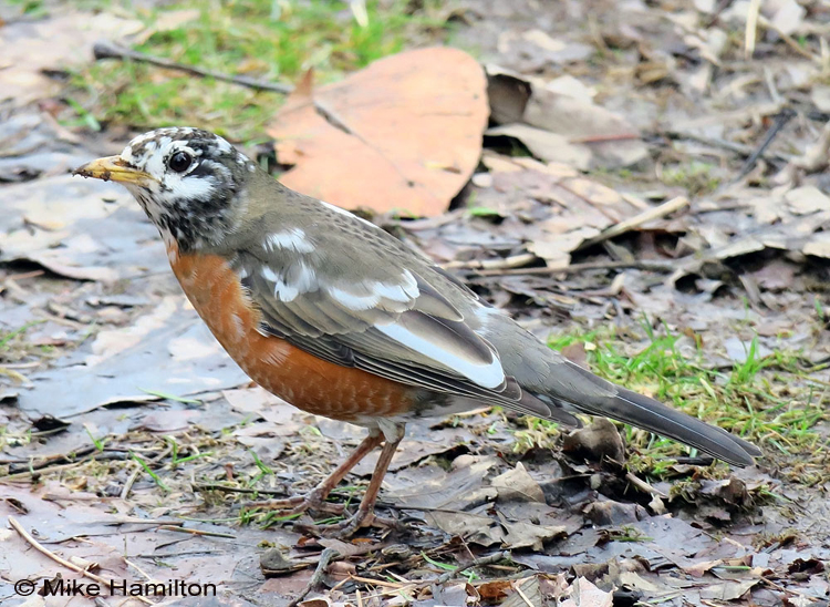 American Robin leucistic - leucism