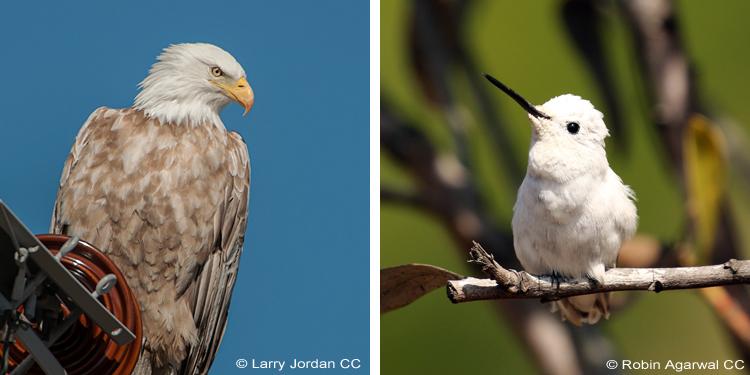 Bald Eagle and Anna's Hummingbird leucistic