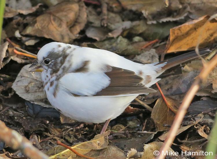 leucistic Fox Sparrow