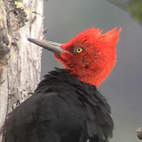 Magellanic Woodpecker Adam Sedgley