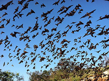 Mexican free-tailed bats in Texas Hill Country