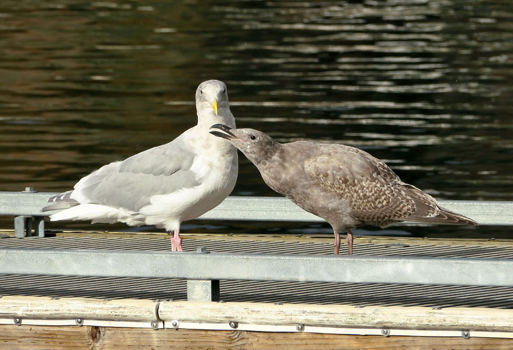 Glaucous-winged gull - Juv