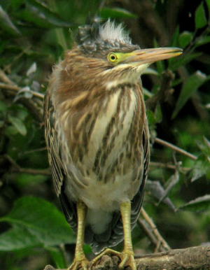 Green Heron - very young