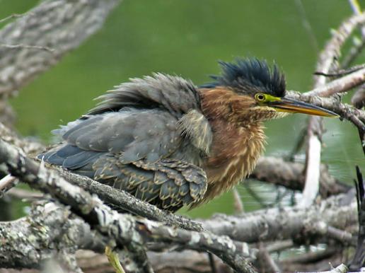 Green Heron - juv