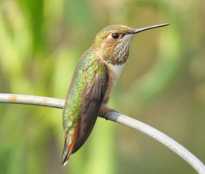 Rufous Hummingbird - Juv