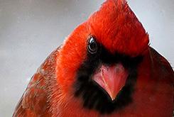 Male Northern Cardinal at birdfeeder