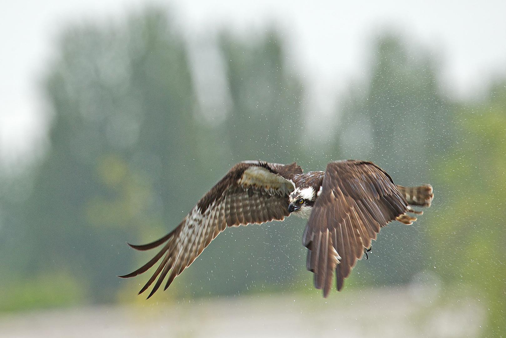 osprey eating fish 1