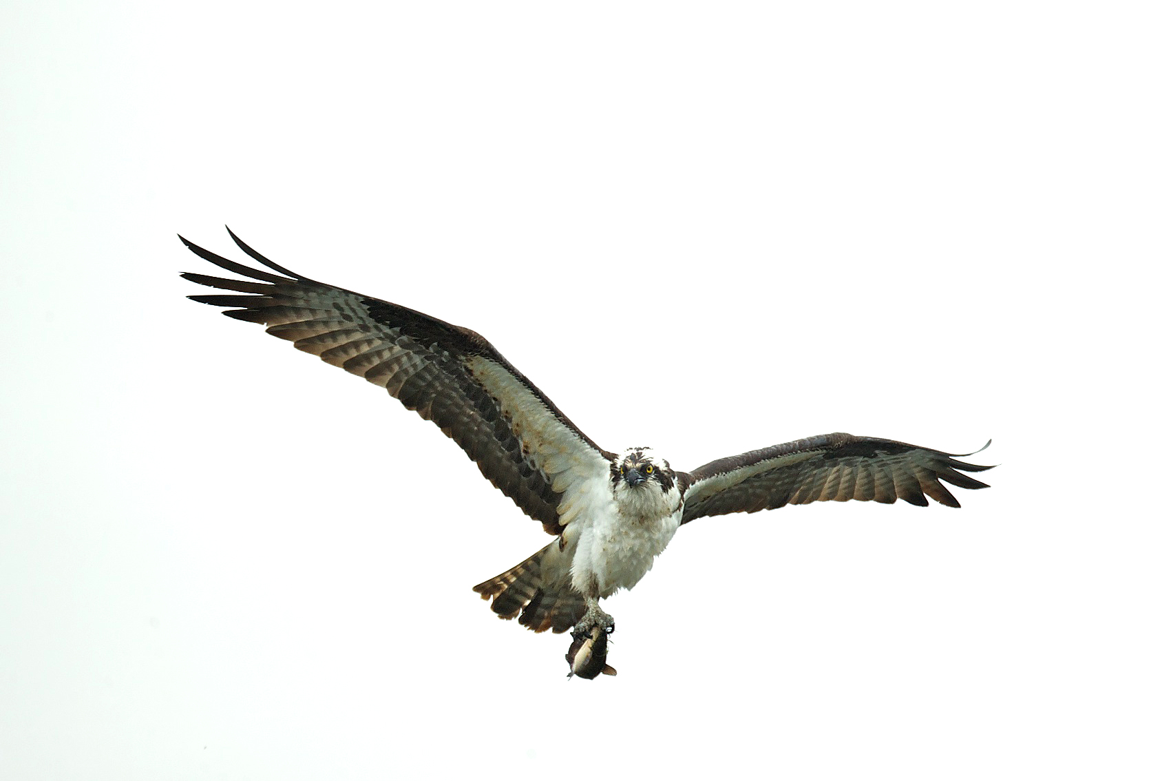osprey eating fish 2