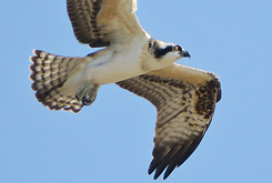 Osprey fledgling flight