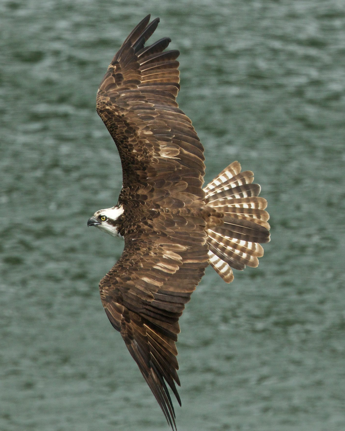 osprey eating fish 0