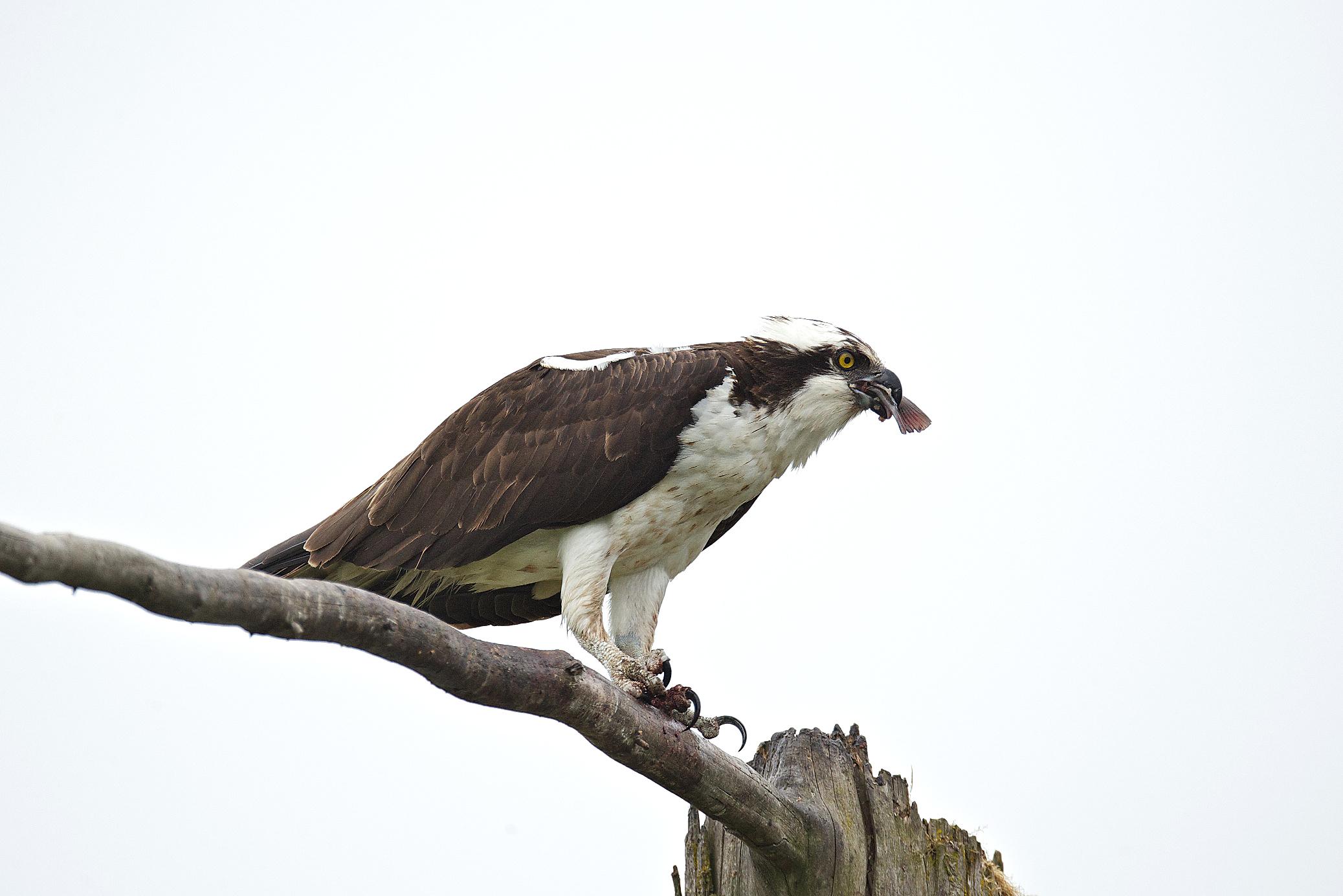 osprey eating fish 12