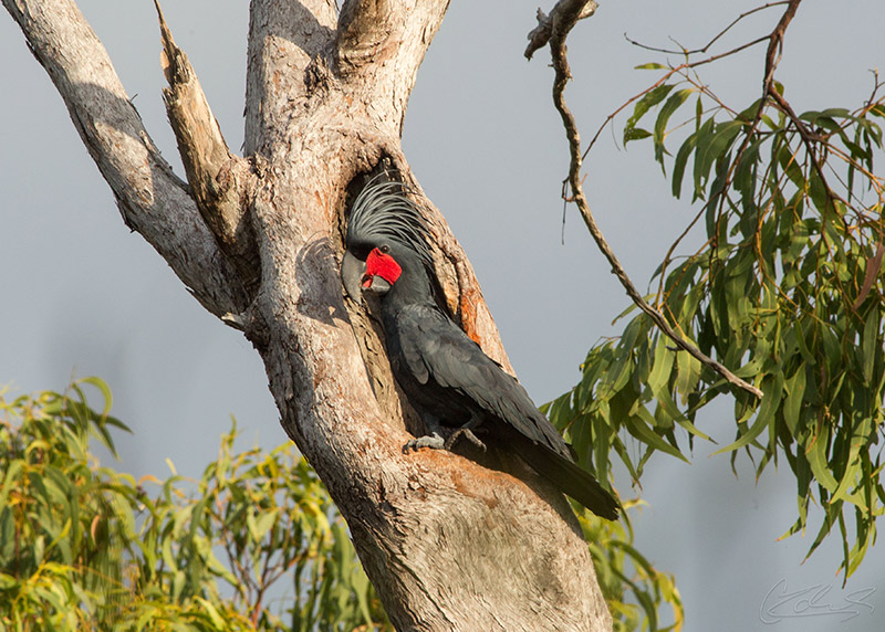 Male Palm Cockatoo at nest in Cape York Peninsula, far north Queensland