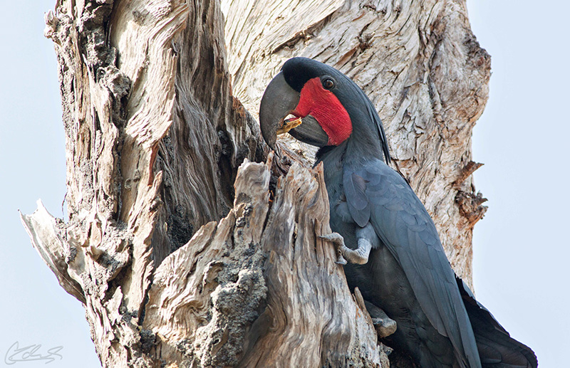 A Male Palm Cockatoo