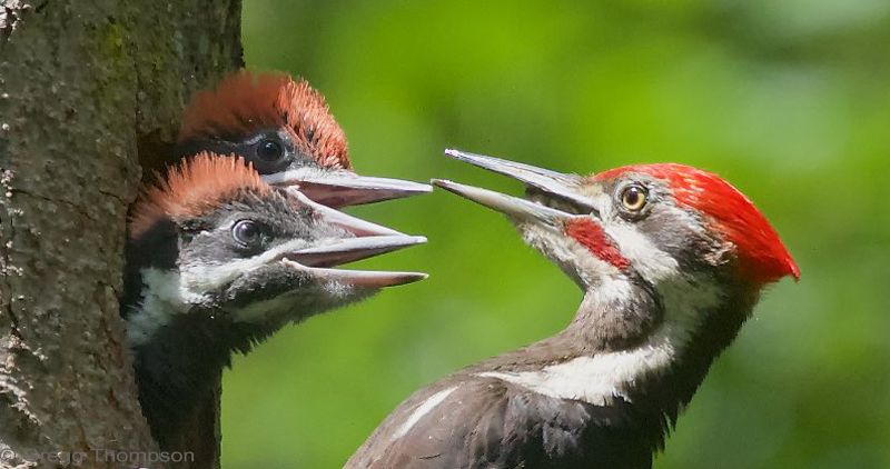 Spring Appeal Pileated Woodpeckers