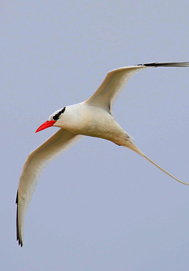Red-billed Tropicbird Galapagos