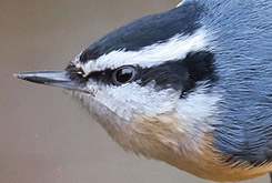 A Red-breasted Nuthatch at a birdfeeder