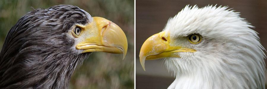 Eagle Vs Hawk Comparison