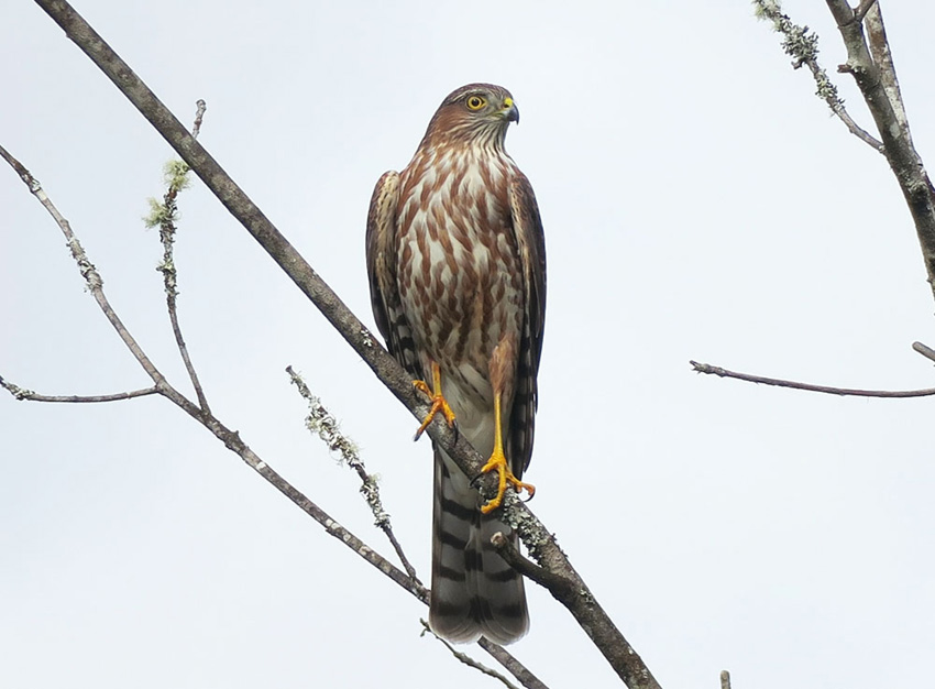 A juvenile Sharp-shinned Hawk