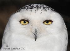 snowy owl head