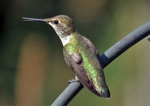 Rufous Hummingbird Female Birdnote