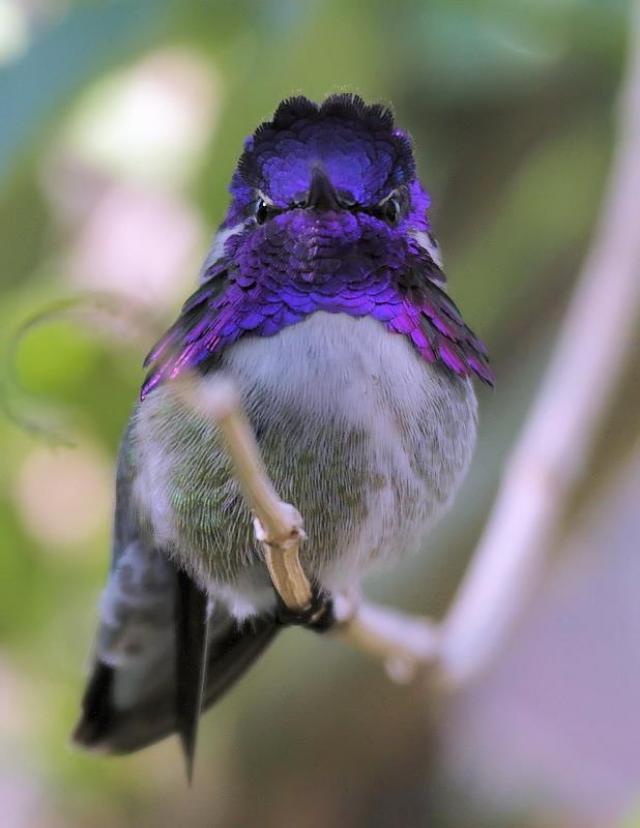 Costa S Hummingbird Birdnote