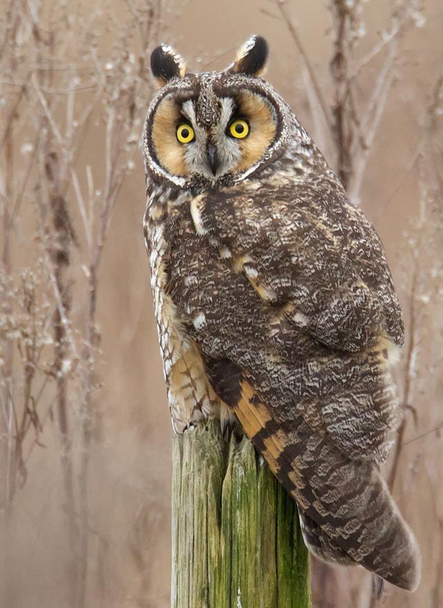 long eared owl asio otus birdnote