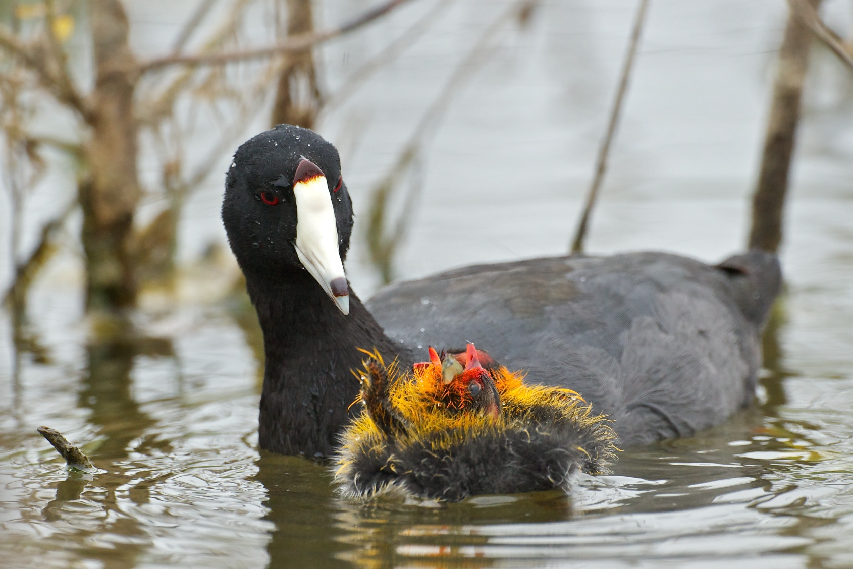 Am coot feeding chick