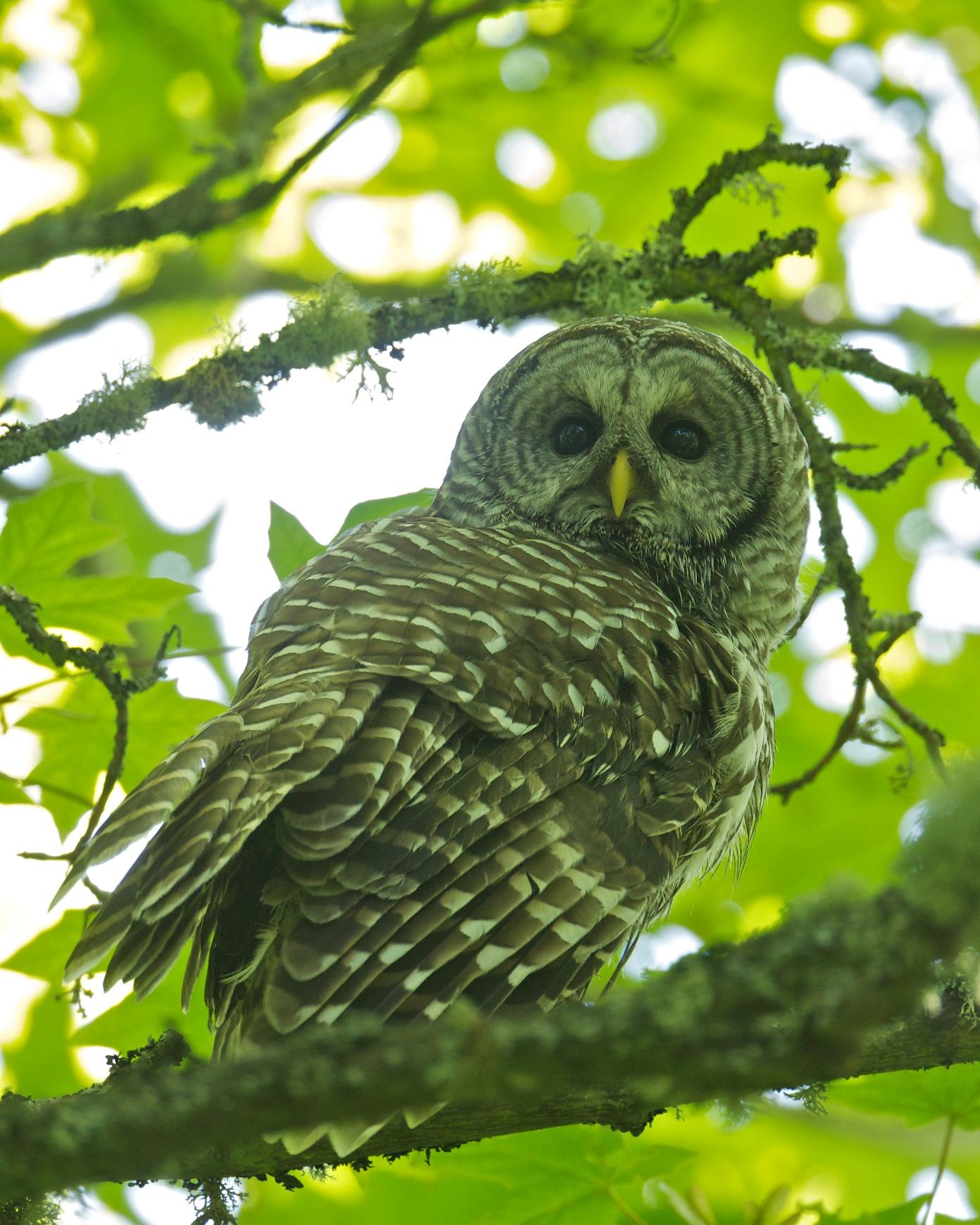 The Barred Owl Calls | BirdNote