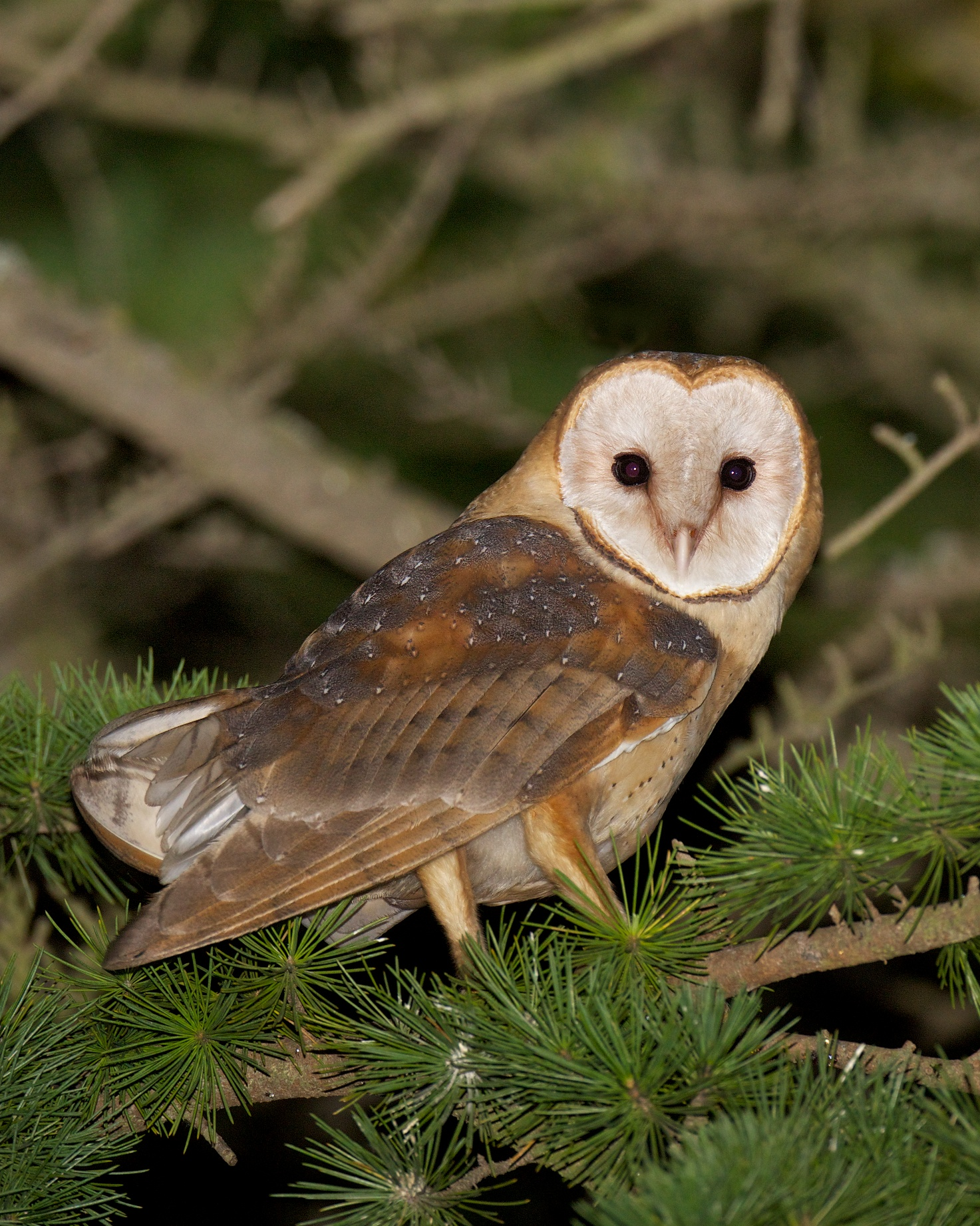 Barn Owls Let You Know | BirdNote