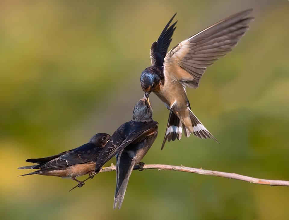 Where Swallows Go In Winter Birdnote