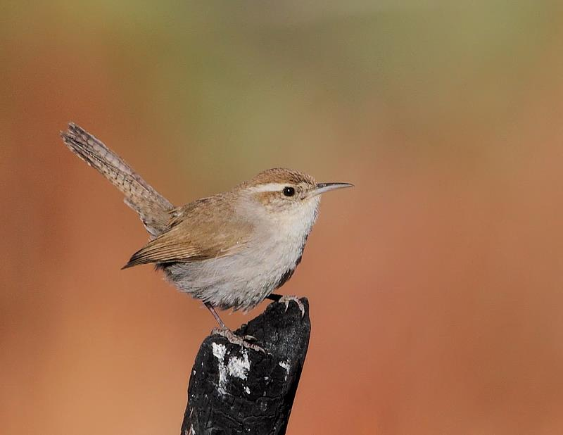 A Young Bewick's Wren Learns to Sing | BirdNote