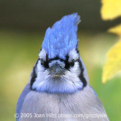 Jaywalking Birdnote