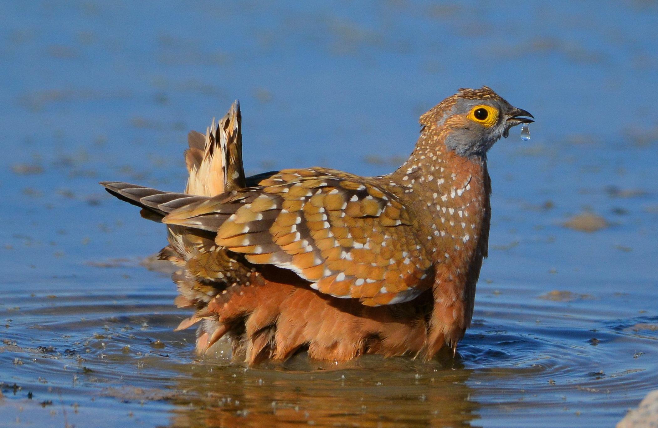 Sandgrouse Desert Water Carriers Birdnote