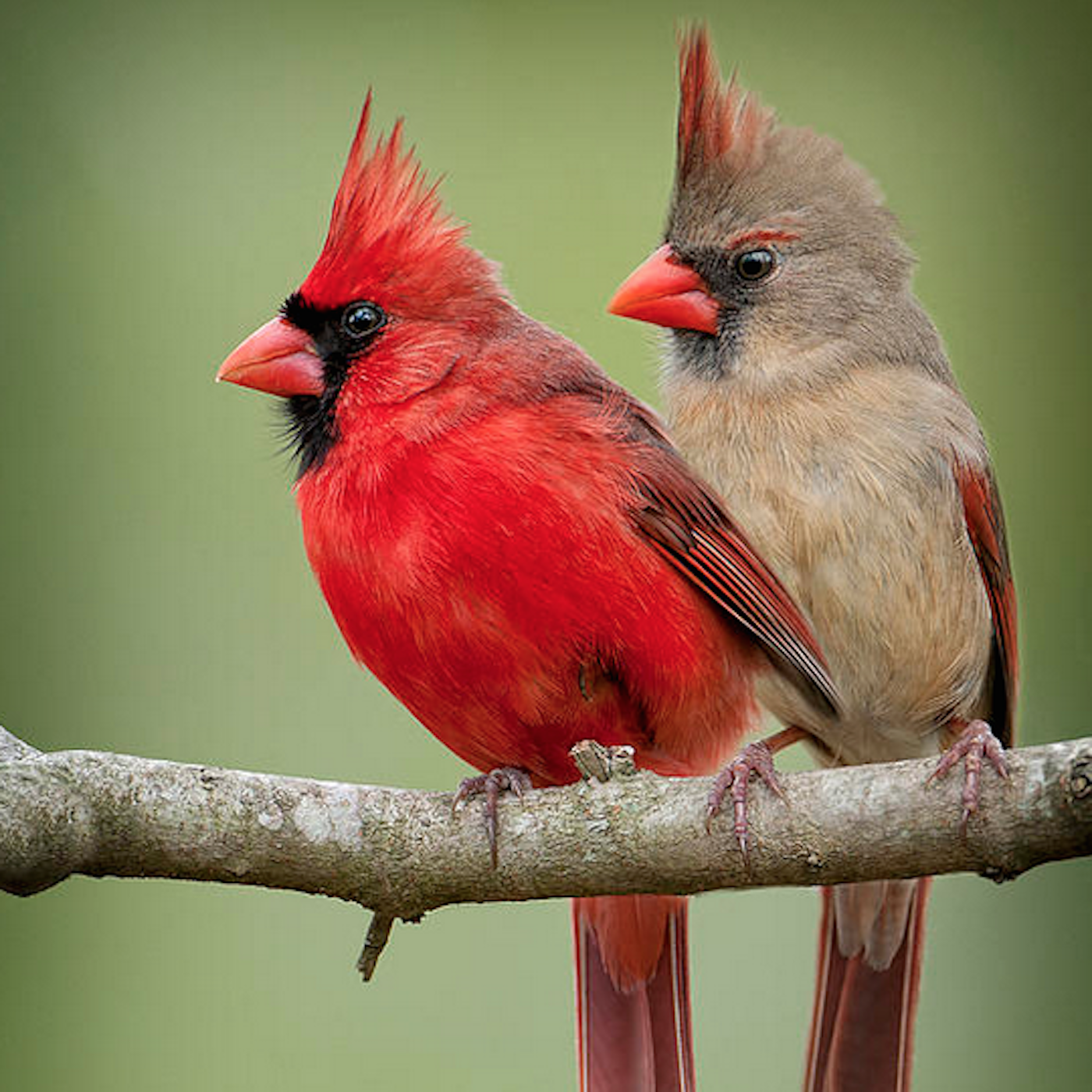 Photo of male and female cardinals