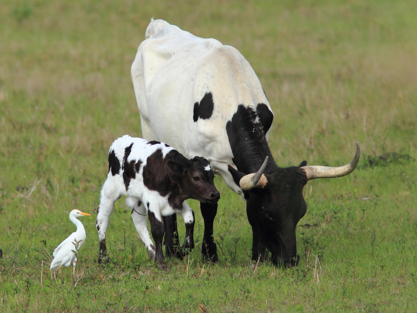 cattle egret you u0027ve got a friend in me birdnote