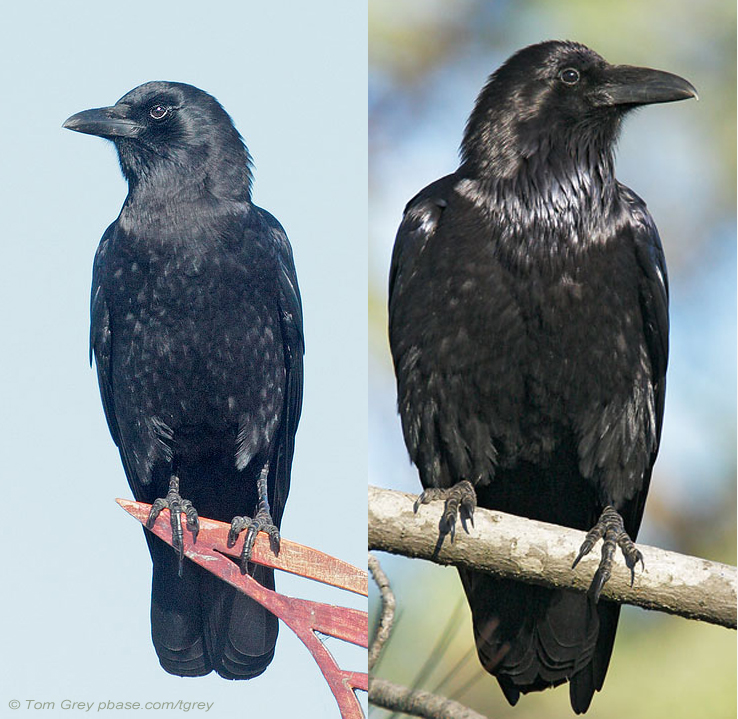 Ravens And Crows Who Is Who Birdnote