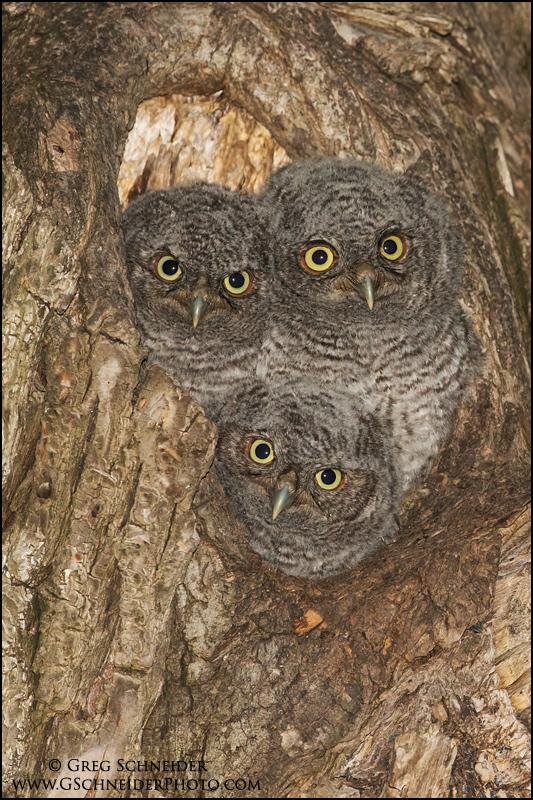 Blind Snakes And Screech Owls Birdnote