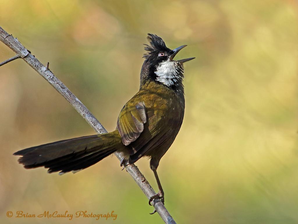 australia u0027s rainforest birds birdnote