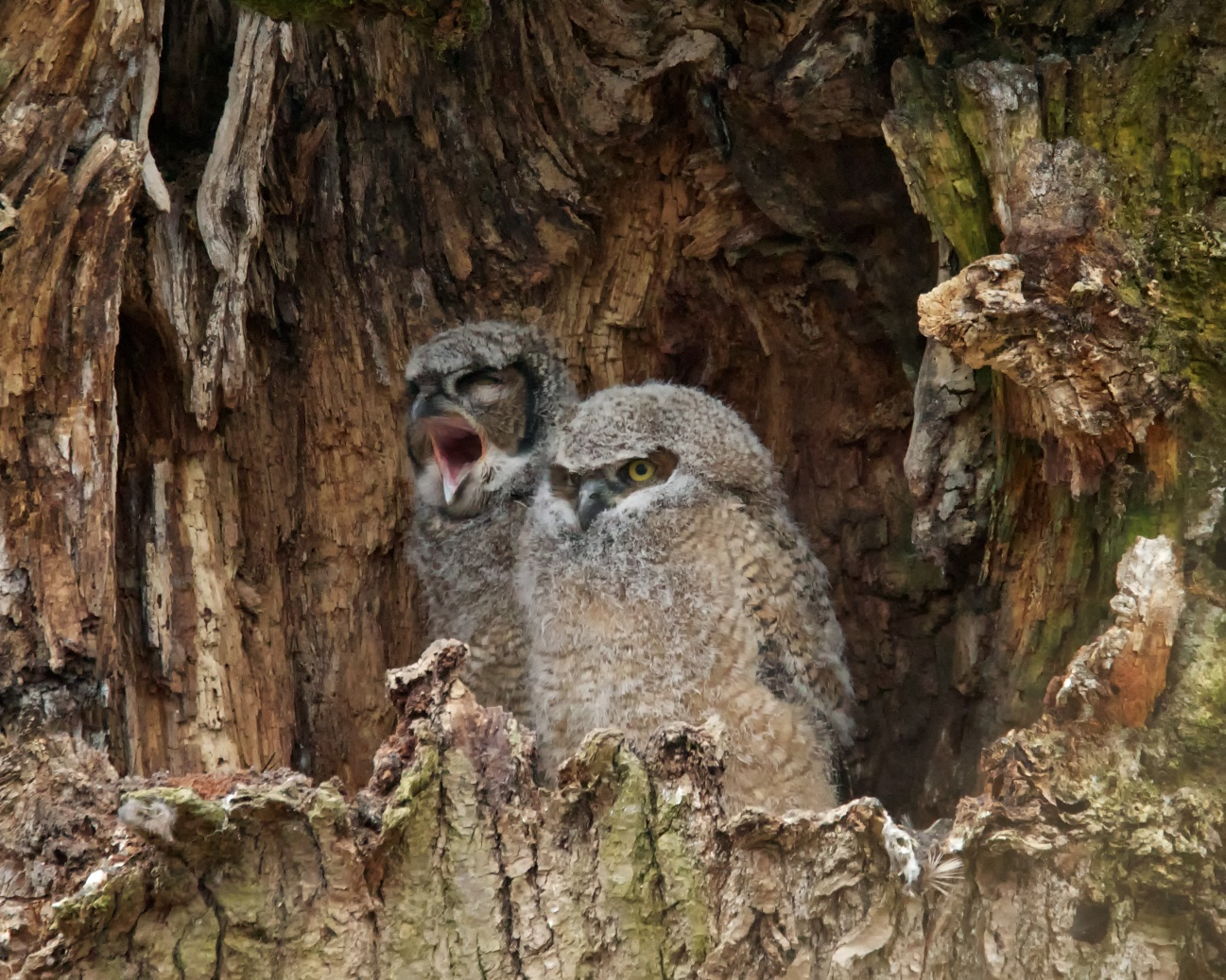 Great Horned Owl Nest on Animal Facts Great Blue Heron