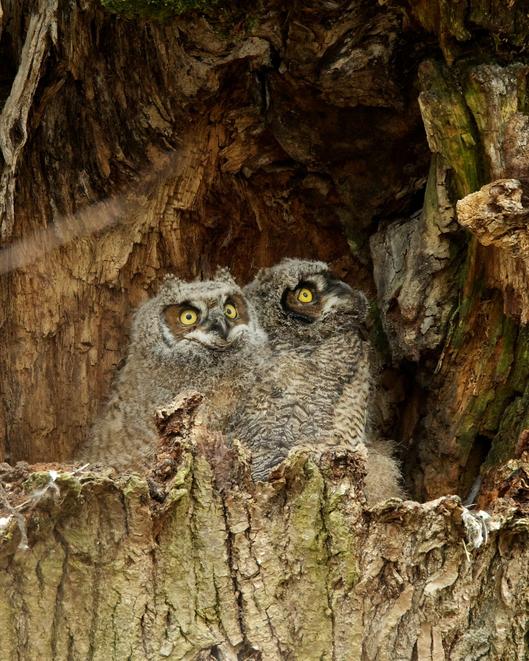 The Great Horned Owl Nest Birdnote