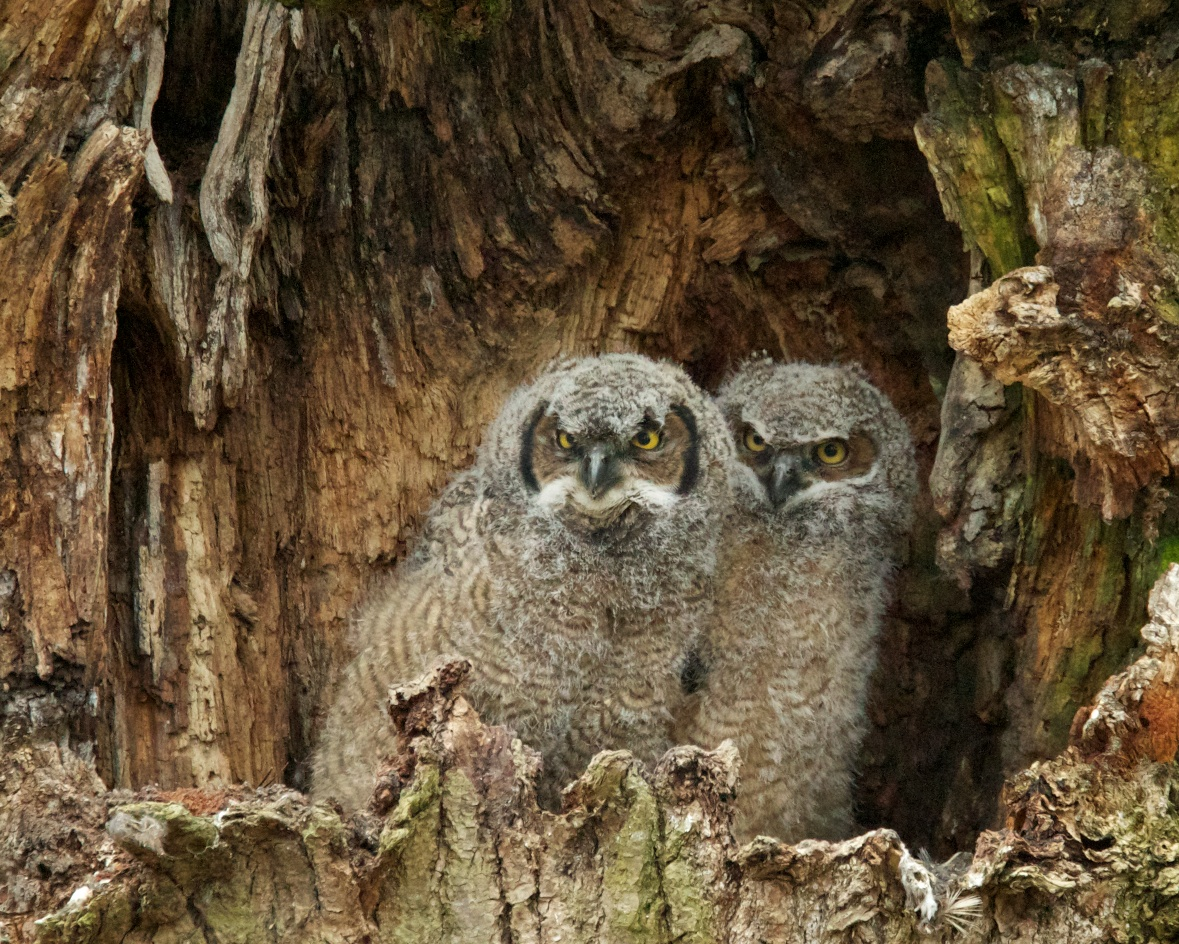Voices And Vocabularies Great Horned Owls Birdnote