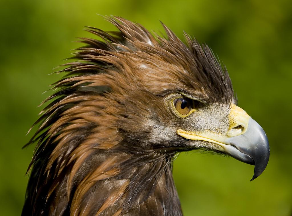The Golden Eagles of I...