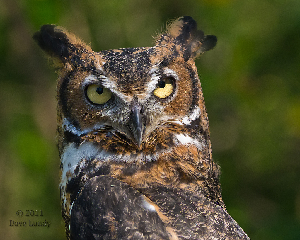 Voices and Vocabularies - Great Horned Owls | BirdNote