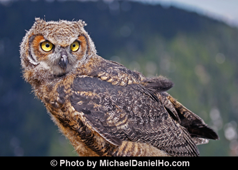 Great Horned Owls Call...