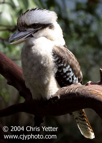 how to draw a laughing kookaburra
