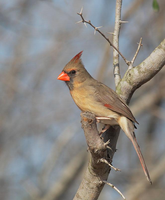 Birds of Cardinals And Grosbeaks cardinalidae Family