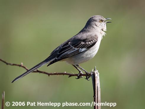 Northern mockingbird - Wikipedia