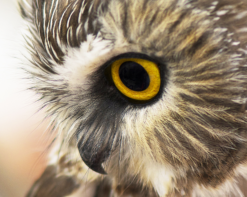 Northern Saw-whet Owl - A Bird with a Lot to Say | BirdNote