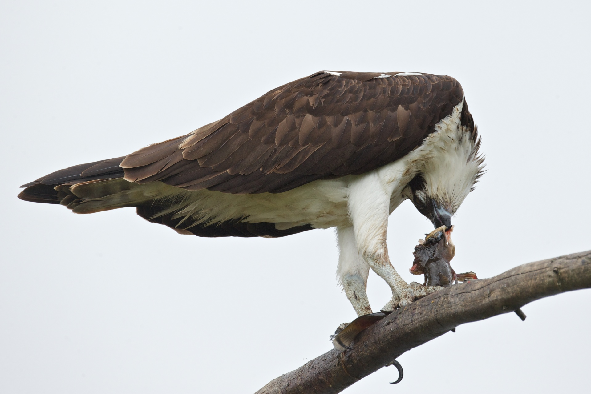 osprey eating fish 10
